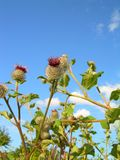 Thistle&sky Royalty Free Stock Images
