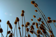 Thistle and sky. Thistle and spring sky Stock Photography