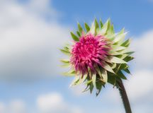 Thistle on sky background Stock Images