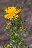 Thistle Spanish oyster thistle with Yellow Flowers Royalty Free Stock Images