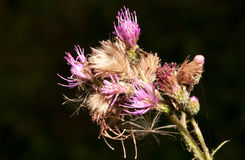 Thistle species flowering plant Royalty Free Stock Photography