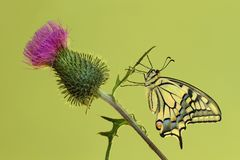 Thistle with swallowtail Stock Photos