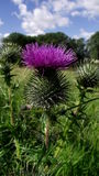 The Thistle Stock Image