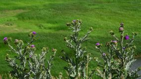 Thistle thorns in steppe in Russia. Thistle thorns in a steppe in Russia stock video footage