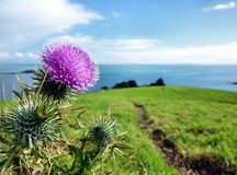 Thistle on top of agreen hill in front of the sea Stock Photo