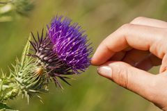 Thistle touch Stock Photography