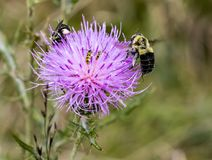 Thistle under attack. Insects pollinating a pasture thistle Royalty Free Stock Photo