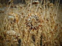 Thistle Weed, Musk Carduus nutans or Scotch Onopordum, acanthium in the fall, withered and dry, dead, Close up, Macro view, in Stock Photography