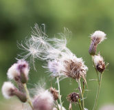 Thistle weed pods blowing away stock image