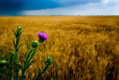 Thistle on wheat field backgound. Thistle in front of wheat field and dramatic sky Royalty Free Stock Photo