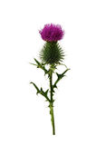 Thistle on a white background. Stock Photo