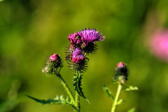 Thistle. Wild flower. Stock Photos