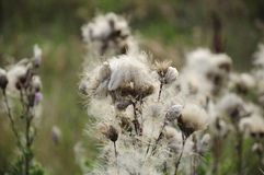 Thistle. Wild thistle white seeds spilling on summer meadow background blurry greenish Stock Photography