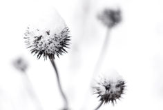 Thistle in winter. Thistles covered in snow in winter Royalty Free Stock Photos