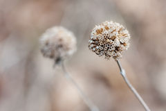 Thistle in the Winter in soft focus Royalty Free Stock Photos