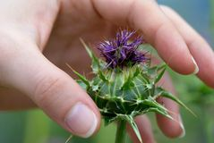 Thistle and woman's hand Royalty Free Stock Image