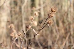 Thistles в зиме Стоковое Фото