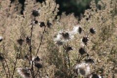 Thistles в лугах Стоковые Фото