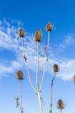 Thistles в поле под голубым небом Стоковое Изображение RF