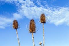 Thistles в поле под голубым небом Стоковая Фотография RF