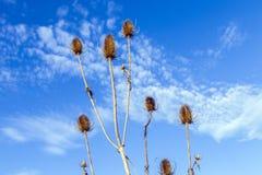 Thistles в поле под голубым небом Стоковые Фотографии RF