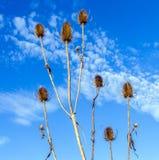 Thistles в поле под голубым небом Стоковая Фотография