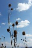 Thistles, деревня и голубое небо Стоковое Изображение RF