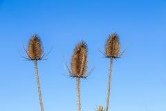 3 thistles под голубым небом Стоковая Фотография RF
