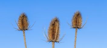 3 thistles под голубым небом Стоковые Изображения RF