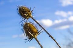 Thistles под голубым небом Стоковая Фотография RF