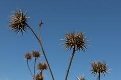 Thistles против голубого неба Стоковая Фотография RF