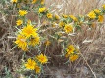 Thistles с желтыми цветками Стоковое фото RF