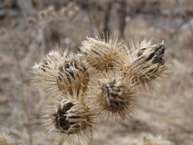 Thistles Royalty Free Stock Photo