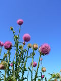 Thistles. The image of a thistles against a background of the blue sky stock photos