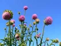 Thistles. The image of a thistles against a background of the blue sky royalty free stock image