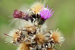 Thistles. Stock Image