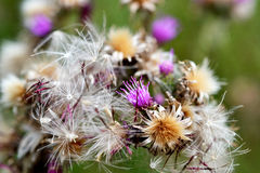 Thistles in August. Royalty Free Stock Images
