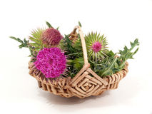 Thistles in the basket Royalty Free Stock Photography