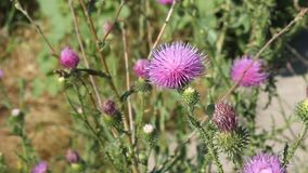 Thistles and bee Stock Image