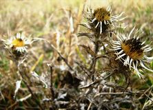 Thistles on a bleak meadow. Yellow and grey dry thistles on a bleak meadow in Czech Republic during a dreary day in autumn royalty free stock photo