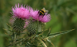 Thistles and bumble bee. Two purple flowering thistle heads and a bumble bee. The thistle is the national floral emblem of scotland stock image