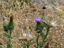 Thistles with bumblebee Stock Images