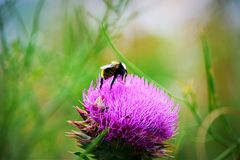 Thistles & Bumblebees. Thistle with bumblebee eating stock images