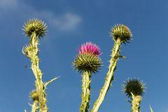 Thistles Royalty Free Stock Photos
