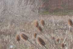 Thistles Royalty Free Stock Images