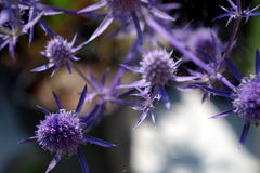 Thistles. Detail of purple garden thistles Stock Image