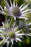 Thistles - Eryhgium. Thistles - Eryngium close-up Royalty Free Stock Photography