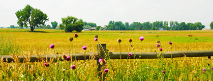 Thistles, Fence and Field. Thistles by a fence in front of a golden field with picturesque trees royalty free stock photos