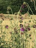 Thistles. Field of thistles, so ugly yet so beautiful royalty free stock photography