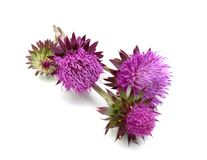 Thistles flower Royalty Free Stock Photography